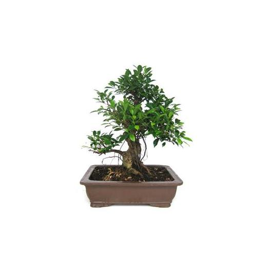 Ficus retusa 20 años