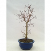 Acer palmatum yamamomiji 17 años ARCE