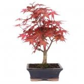 Acer palmatum desfolho 7 anos ÁCER