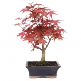 Acer palmatum deshojo 7 años ARCE