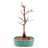 Acer palmatum deshojo 10 anos BORDO