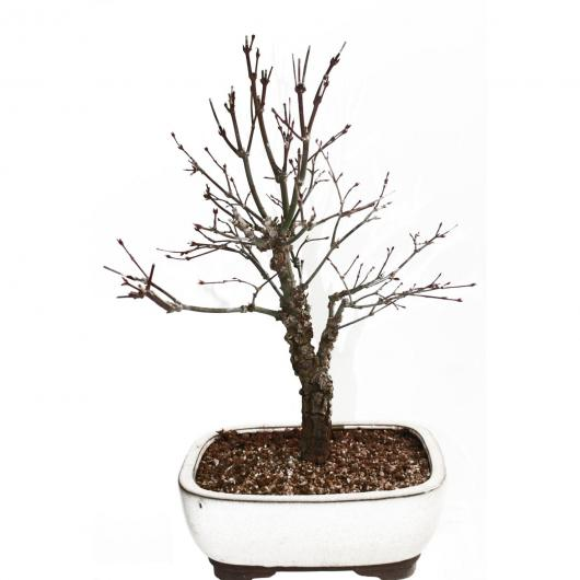 Acer palmatum deshojo Arakawa 10 anni ACERO