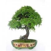 Zelkova parvifolia 25 anni OLMO CHINO