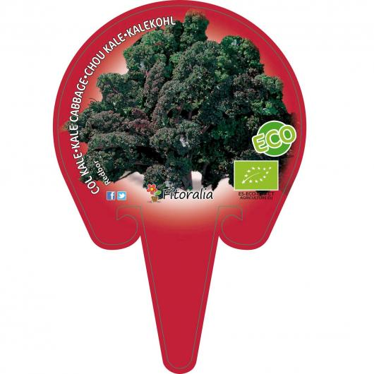 Plantón ecológico de Col Kale Morada Maceta 10,5 cm de diàmetro