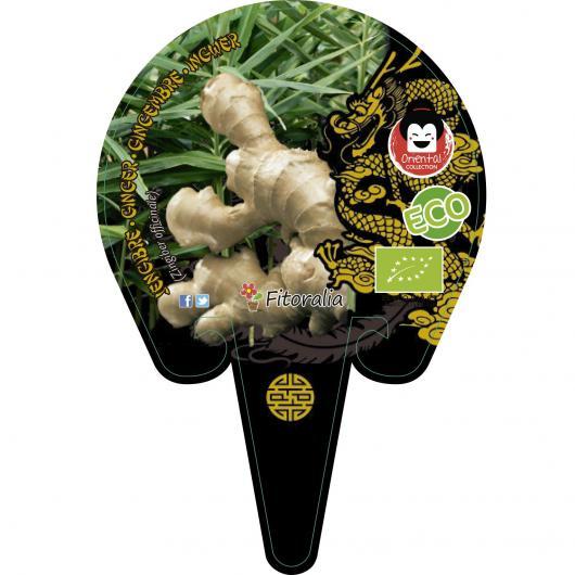 Jengibre maceta 10,5 cmc de diámetro