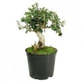 Pré-bonsai Olea europaea sylvestris ACEBUCHE 8 anos