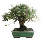 Cotoneaster sp. 10 años