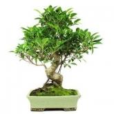 Ficus retusa 16 anos