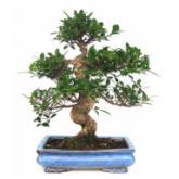 Ficus retusa 19 años