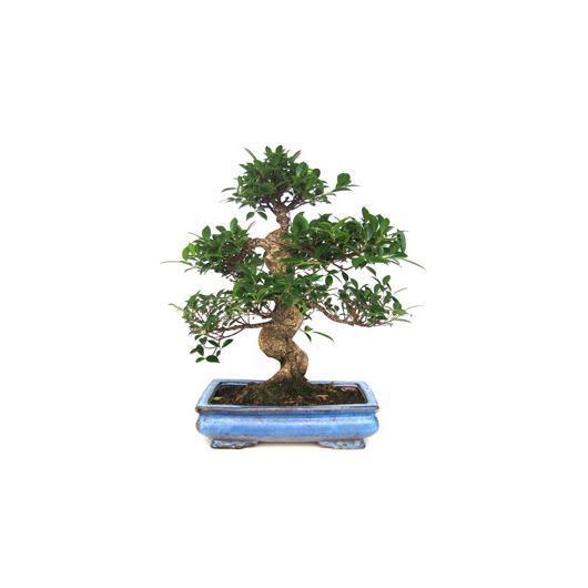 Ficus retusa 19 ans