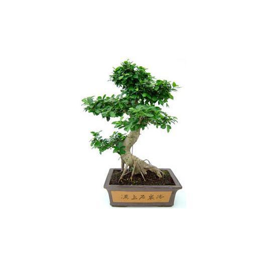 Ficus india 20 ans
