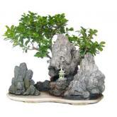 Ficus india 24 años