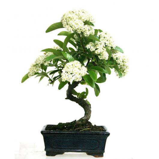 Pyracantha sp. (buisson ardent) 5 ans