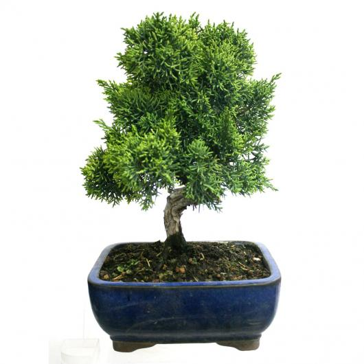 Juniperus Chinensis 8 años SABINA