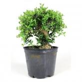 Pré-bonsai Olea europaea sylvestris ZAMBUJEIRO 12 anos