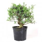Pré-bonsai Olea europaea sylvestris 14 anos