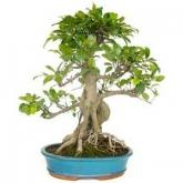 Ficus retusa 18 yrs old