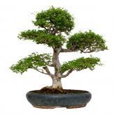 Zelkova parvifolia 24 anni OLMO CINESE