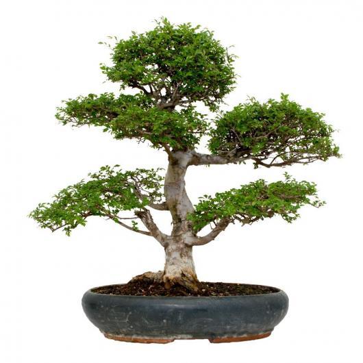 Zelkova parvifolia 24 años OLMO CHINO