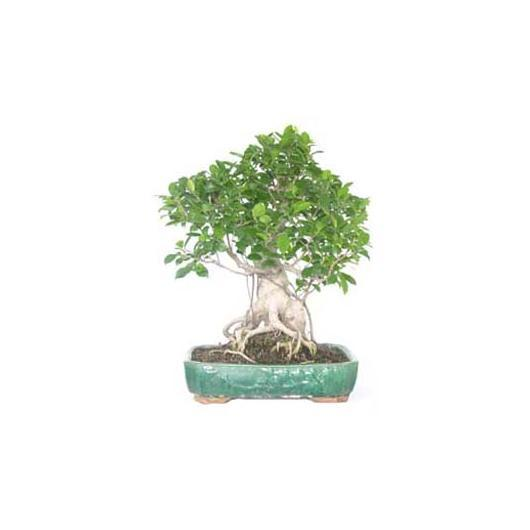 Ficus retusa 25 años
