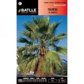 Graines de palmier éventail