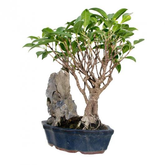 Ficus retusa en roca 7 años