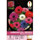 Bulbo di Anemone St Brig Mix di colori 8 unità