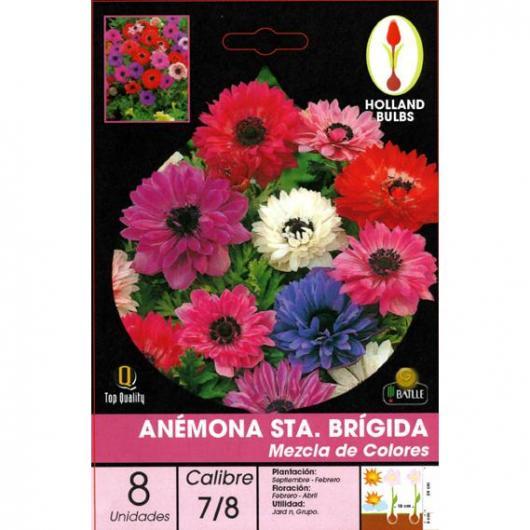 Bulbe d'anémone St Brigid Mélange de couleurs 8 pièces