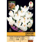 Bolbo Crocus branco puro, 10 ud