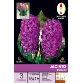 Bulbe de jacinthe violette 3 pièces