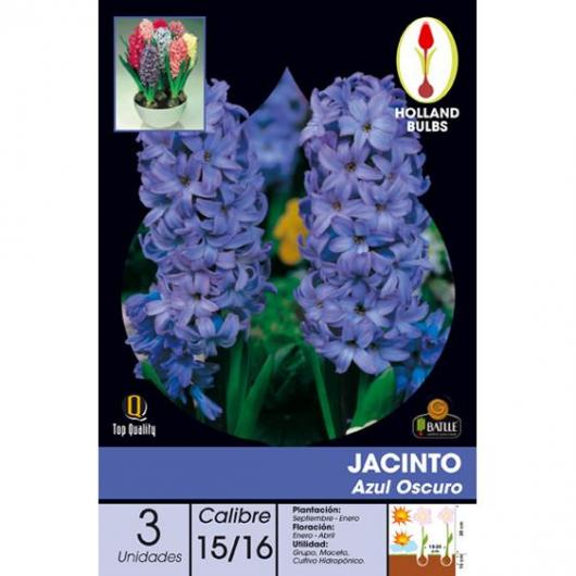 Bulbe de jacinthe bleu foncé 3 pièces