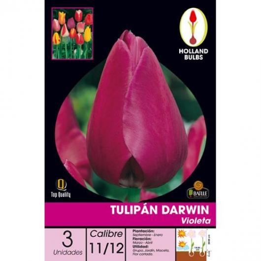 Bulbo Tulipán Darwin Violeta 3ud
