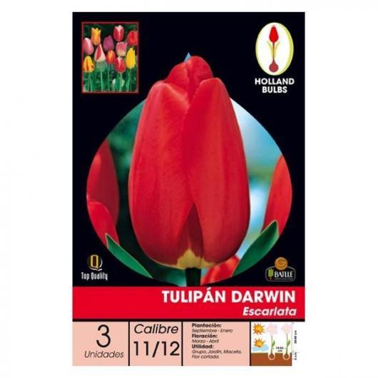 Bulbe de tulipe Darwin rouge écarlate 3 pièces