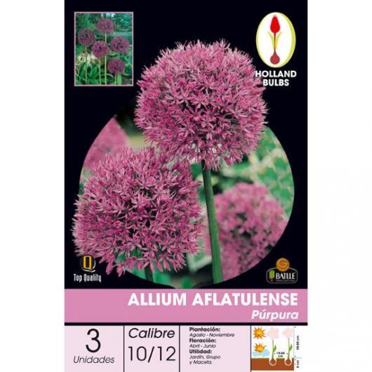 Bulbe d'allium aflatunense pourpre 3 pièces