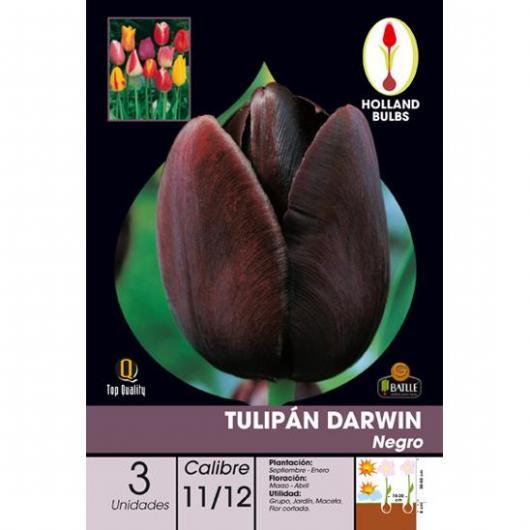 Bulbo Tulipán Darwin Negro 3ud