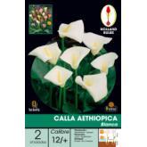 Bolbo Calla Aethiópica (Zantedeschia) 2 ud