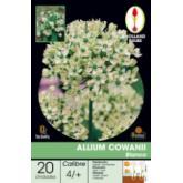 Bolbo Allium Cowani, 20 ud
