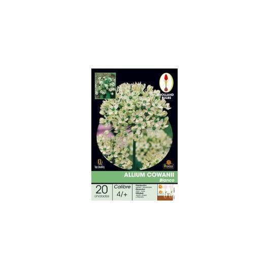 Bulbo di Allium Cowanii 20 unità
