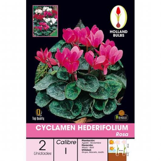 Bulbo di Ciclamino Hederifolium Rosa 2 unità