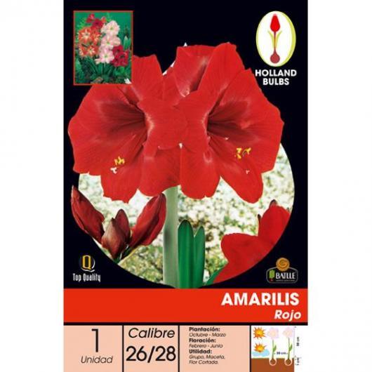 Bulbo di Amarillis rosso 1 unità