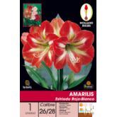 Bulbe amaryllis striée rouge et blanche 1 pc