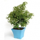 Pré-bonsai 6 anos Pyracantha