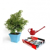 Pack pré-bonsai Pyracantha