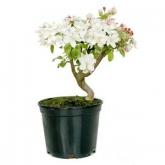 Pré-bonsai de Malus (Macieira) 7 anos