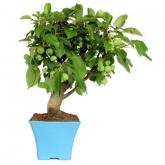 Pré-bonsai de Malus (Macieira) 8 anos