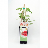 Planta de framboesa ecológica 2L