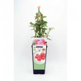 Planta de groselha vermelha ecológica 2L