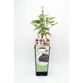 Planta de groselha Preta orgânica 2L