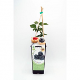 Planta de Amora ecológica 2L