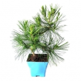 Pré-bonsai 7 anos Pinus halepensis